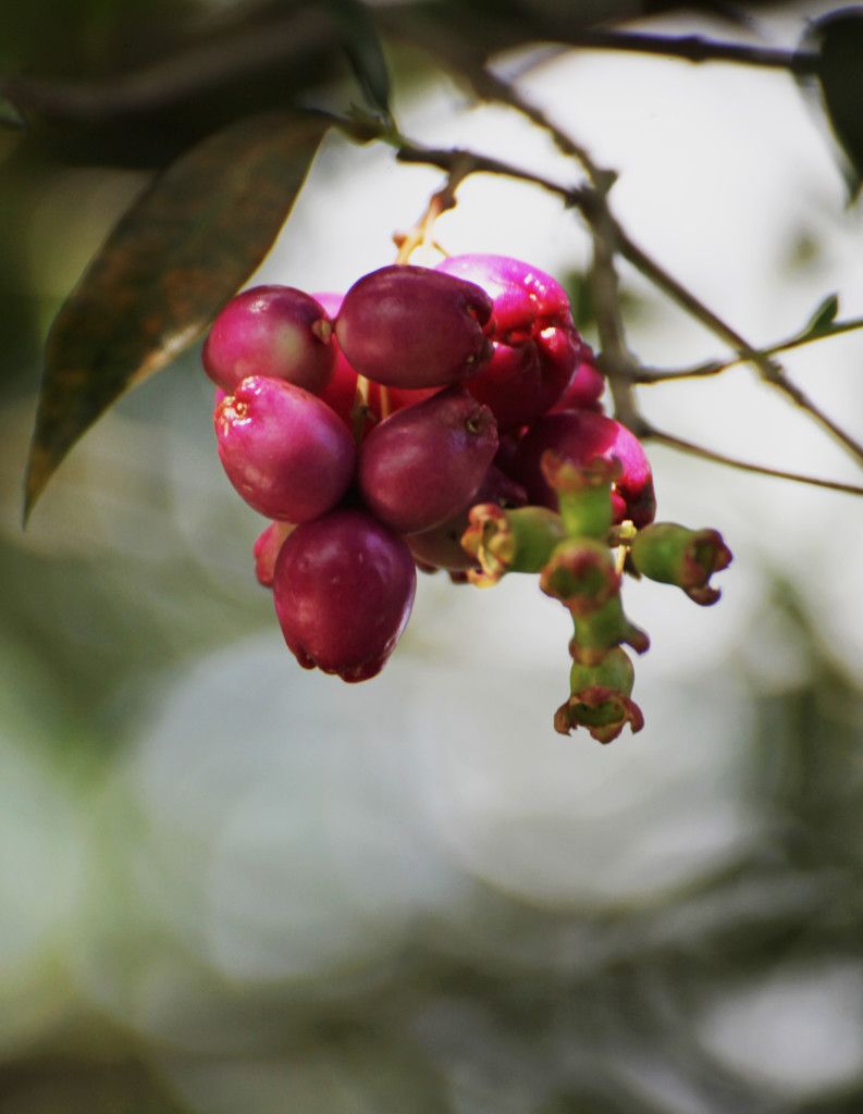 CoffeeBerries2